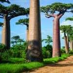 Baobab Tree new wallpaper