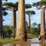 Baobab Tree images