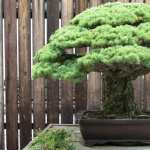Bonsai high quality wallpapers