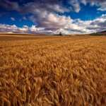 Wheat PC wallpapers