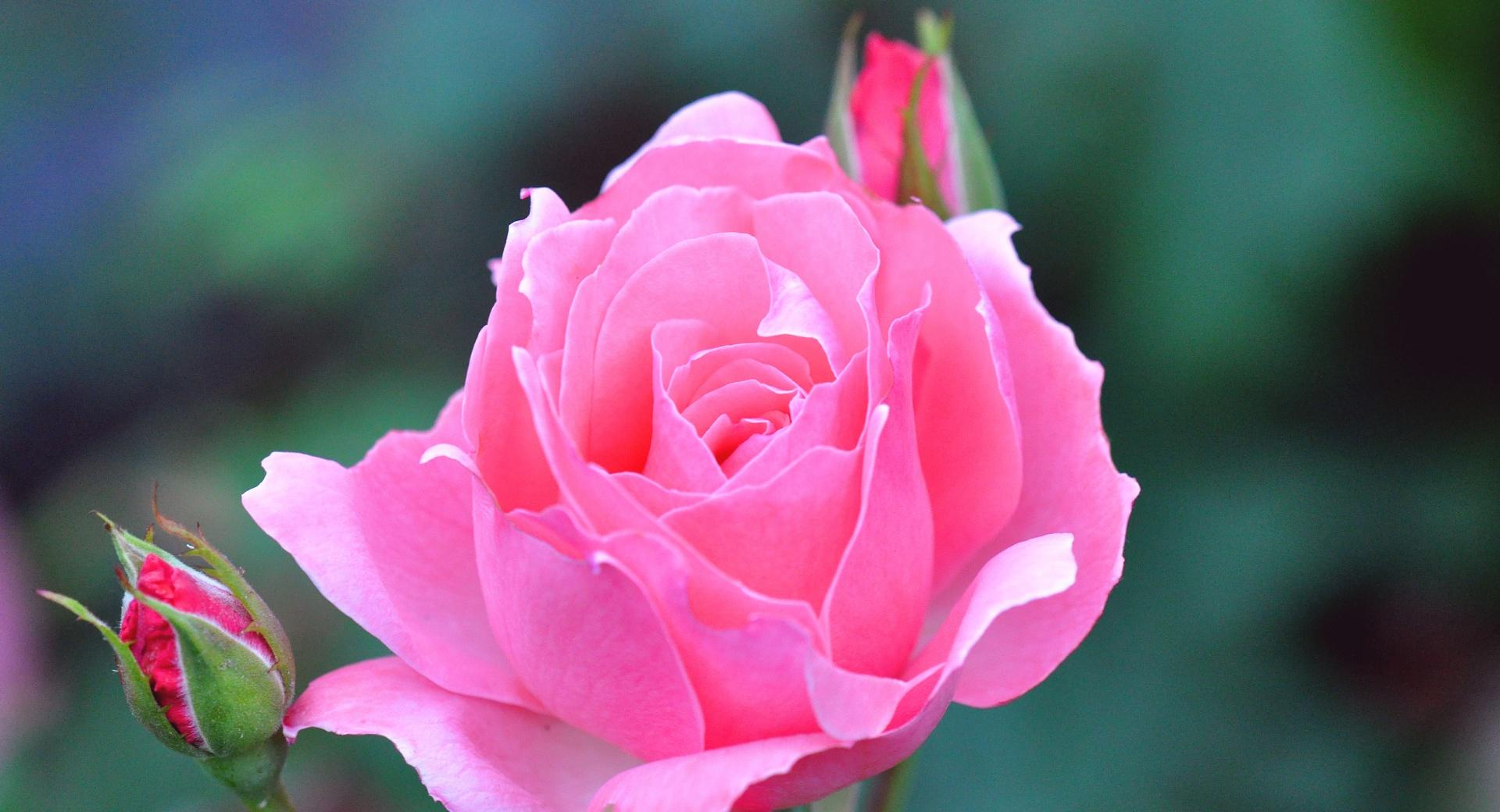 A Pink Rose And Two Buds at 640 x 1136 iPhone 5 size wallpapers HD quality