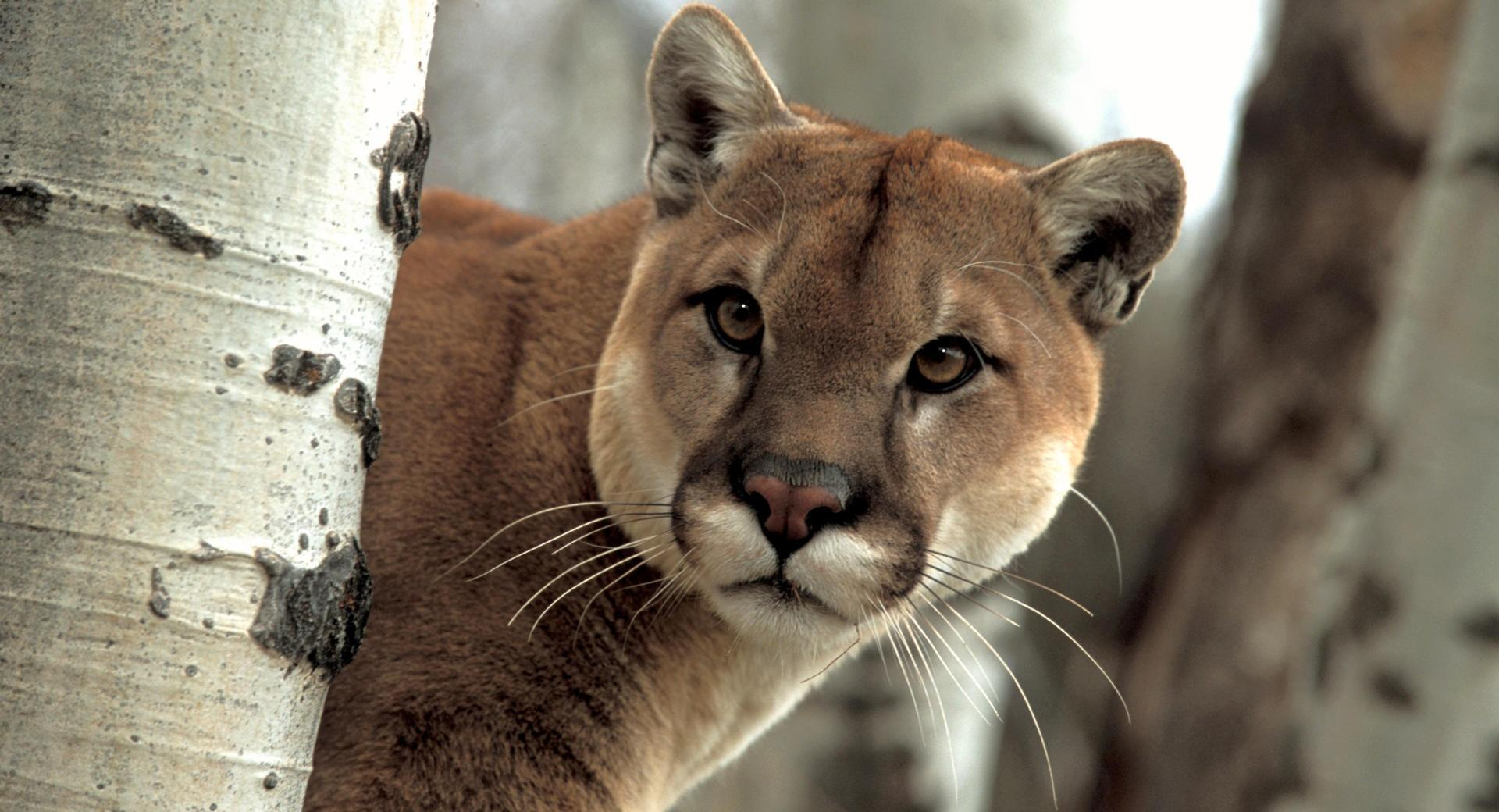 A Watchful Cougar at 640 x 960 iPhone 4 size wallpapers HD quality