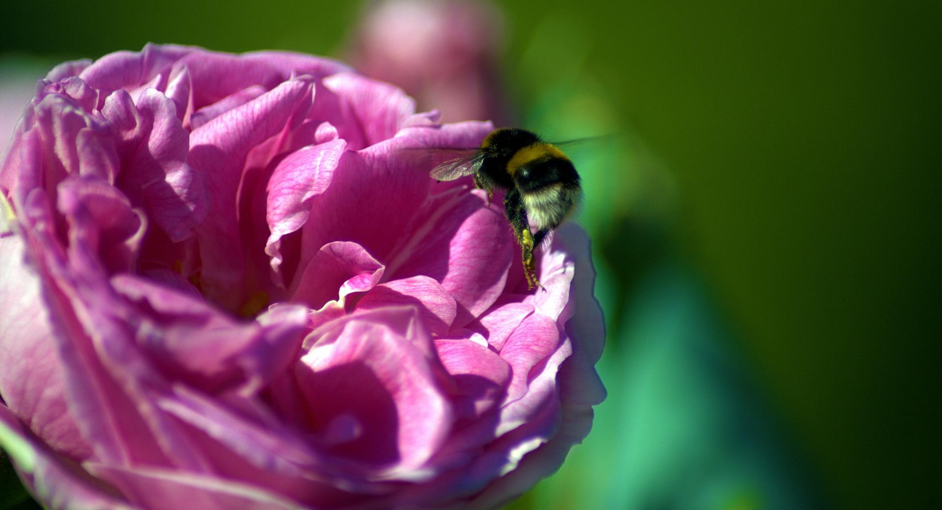 Bee On A Pink Rose wallpapers HD quality