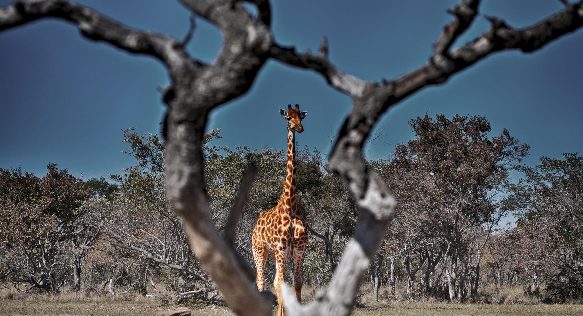 Framed Giraffe wallpapers HD quality
