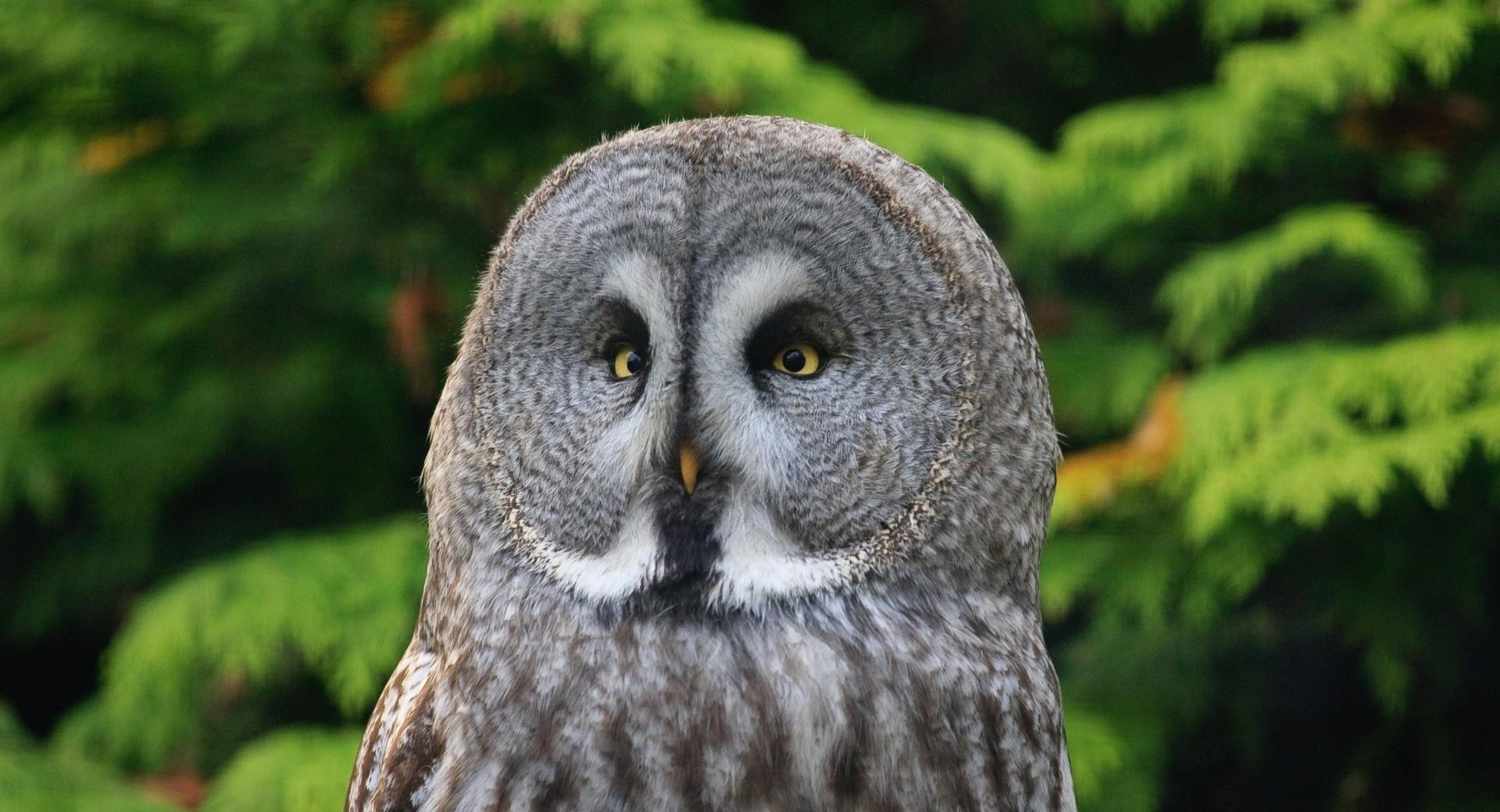 Great Gray Owl wallpapers HD quality