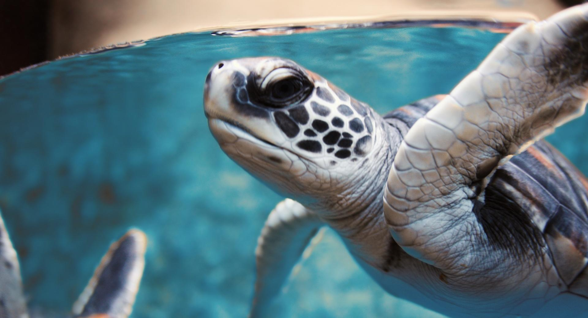 Green Sea Turtle Underwater wallpapers HD quality