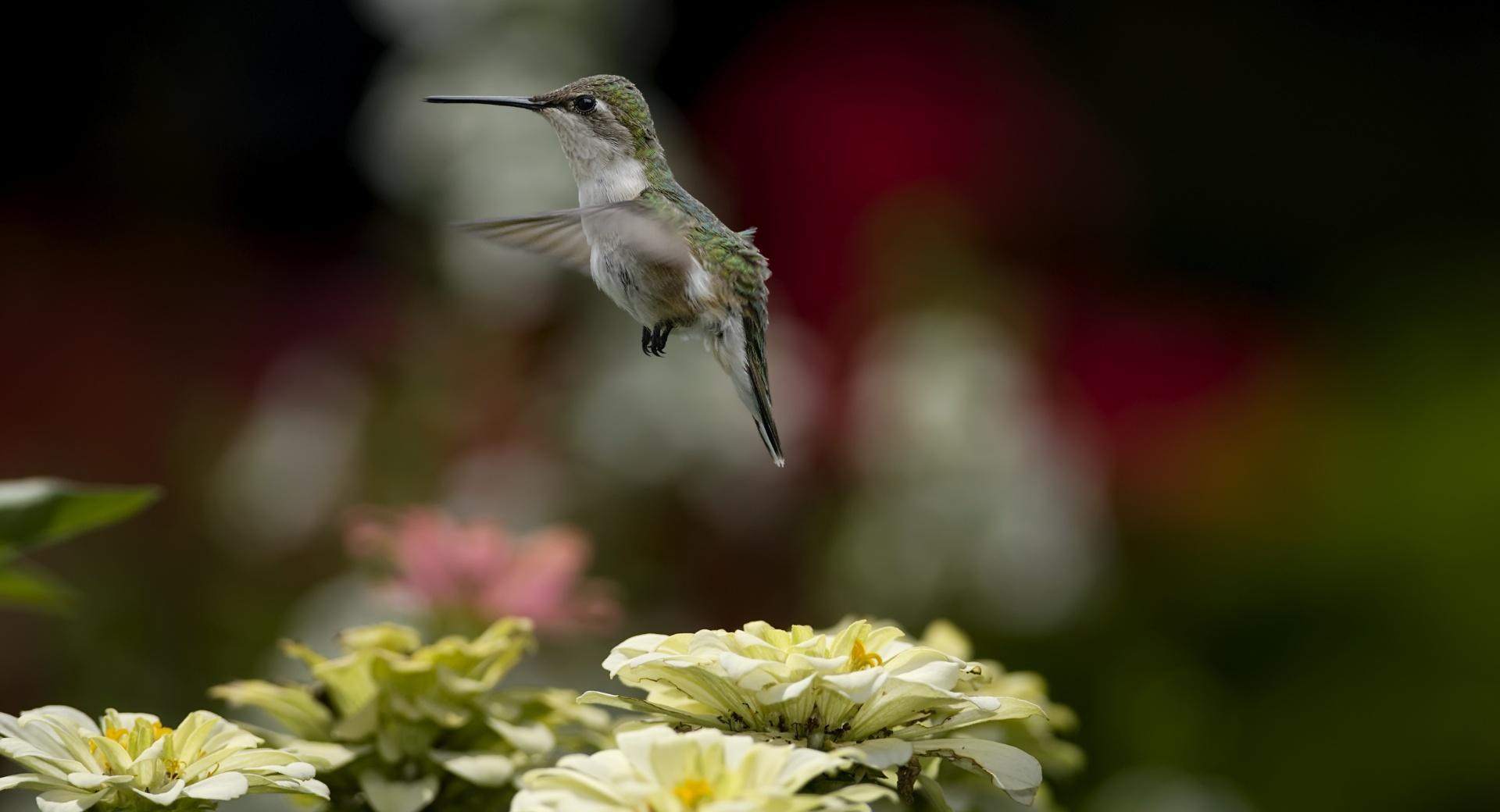 Humming-bird wallpapers HD quality