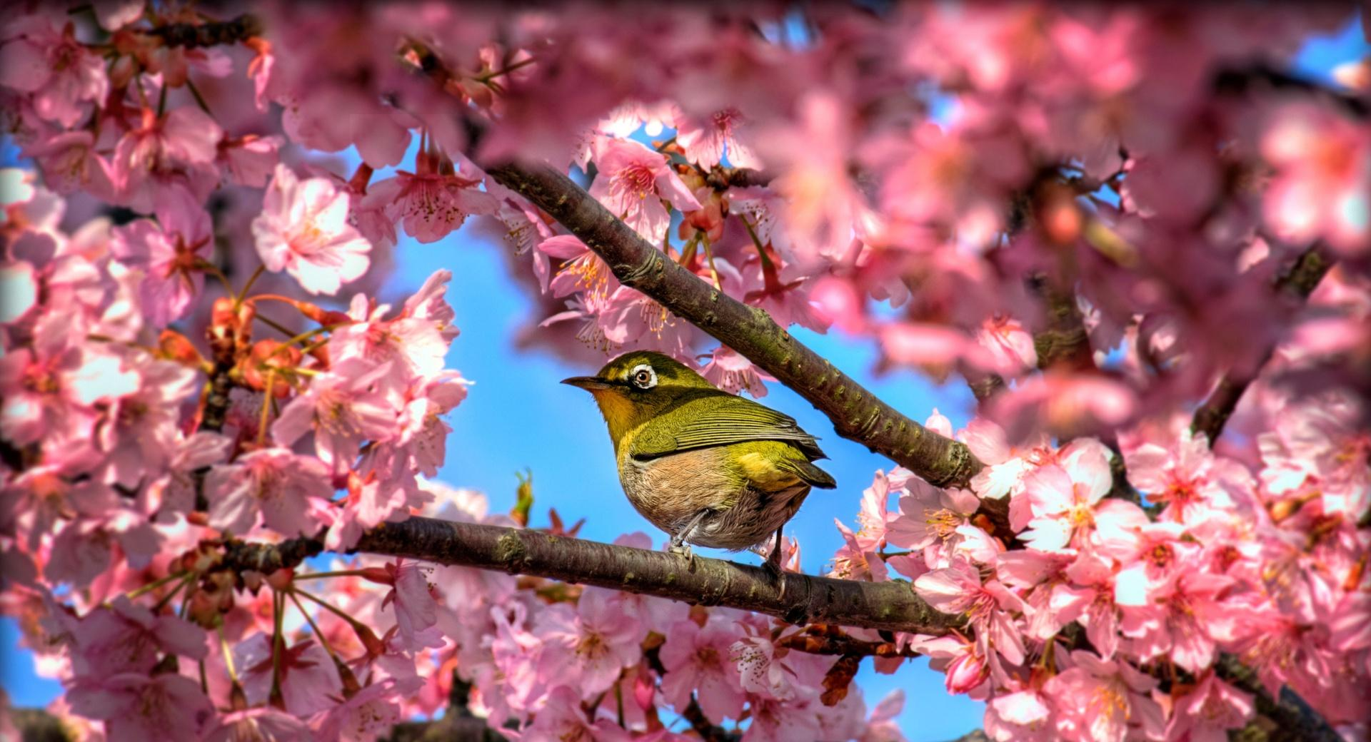 Japanese White Eye Hiding In Sakura wallpapers HD quality