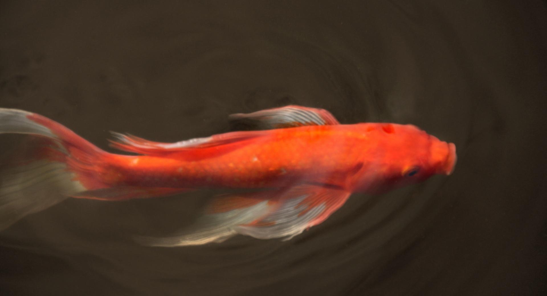 Koi Fish wallpapers HD quality