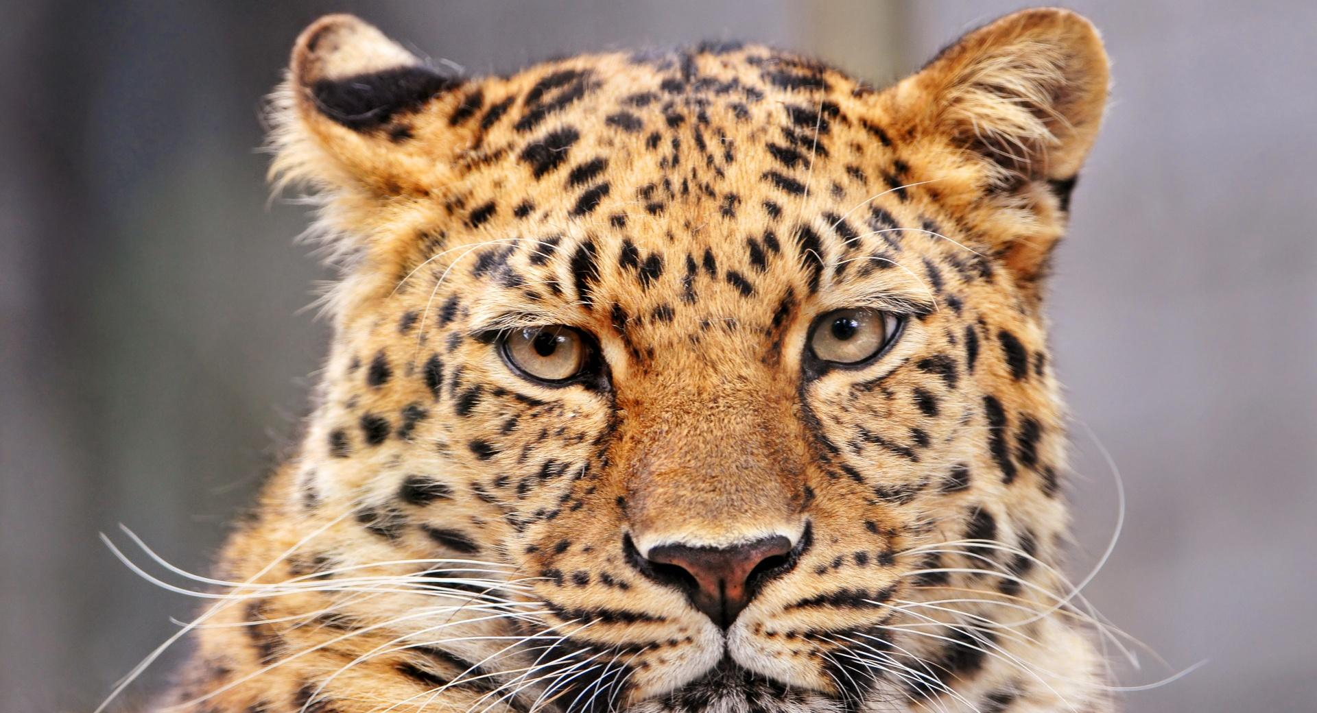 Leopard With A Bored Look wallpapers HD quality