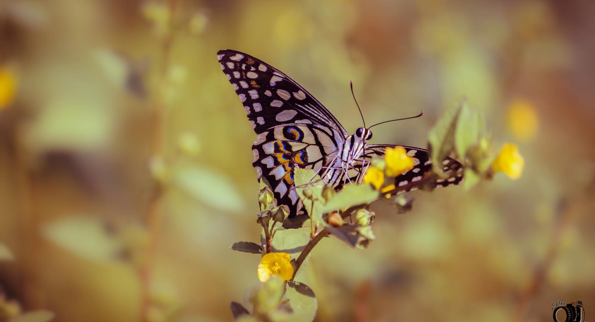 Image Detail For Colorful Ipad Wallpaper Hd 1024x1024: Papilio Elephenor Butterfly 1024 X 1024 IPad Wallpaper