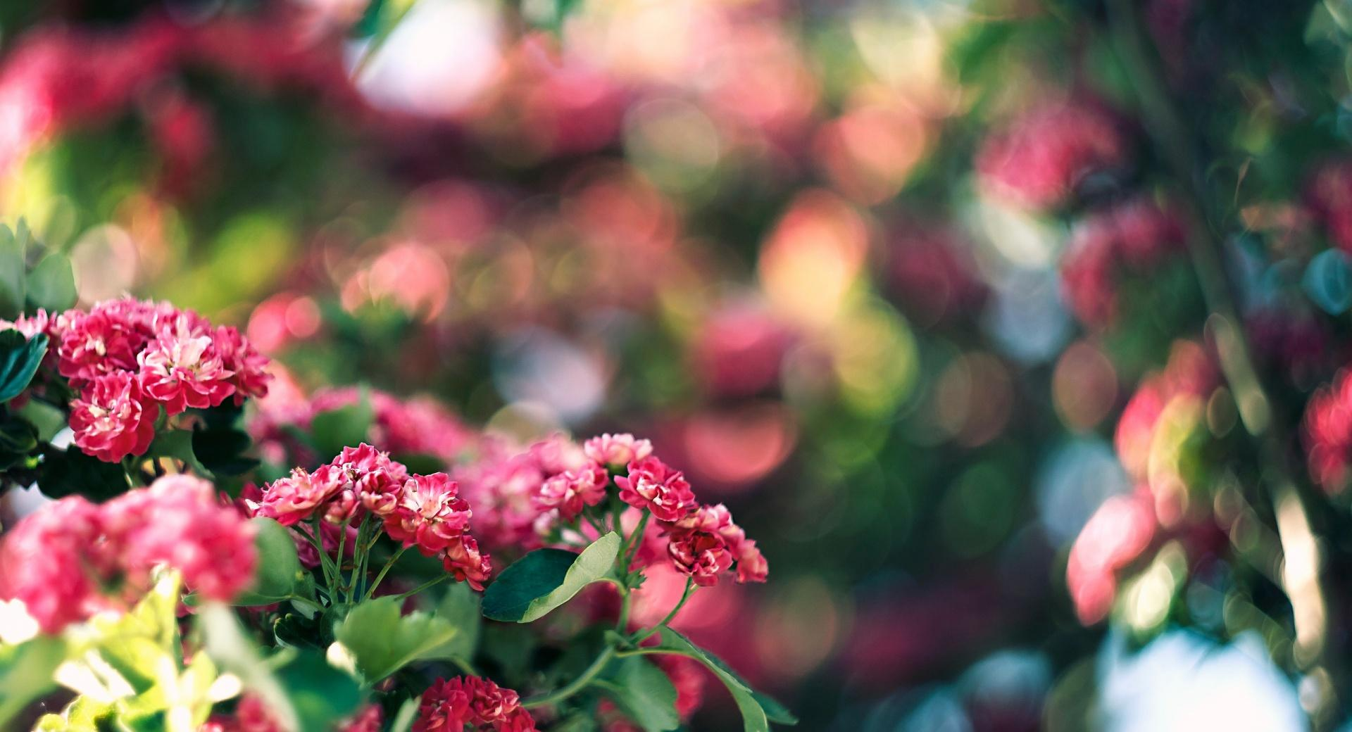 Pink Blossom And Green Bokeh wallpapers HD quality