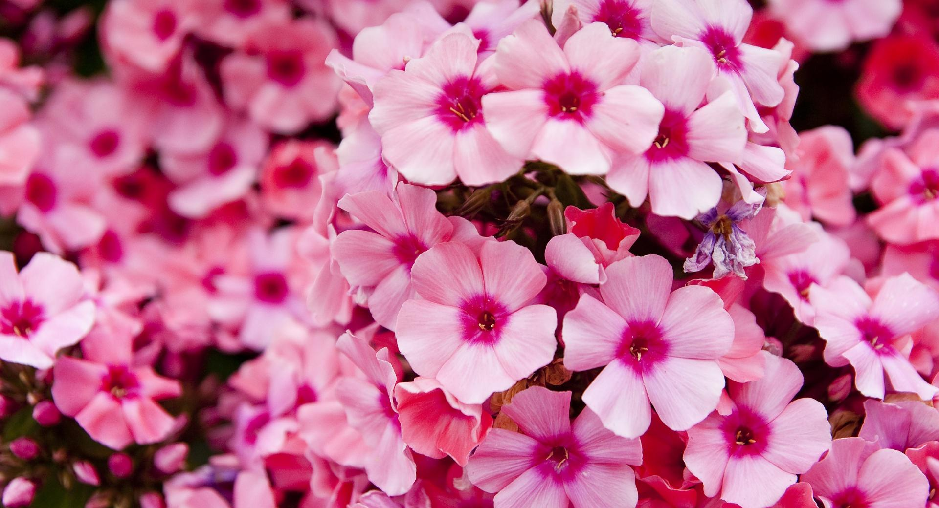 Pink Garden Flowers wallpapers HD quality