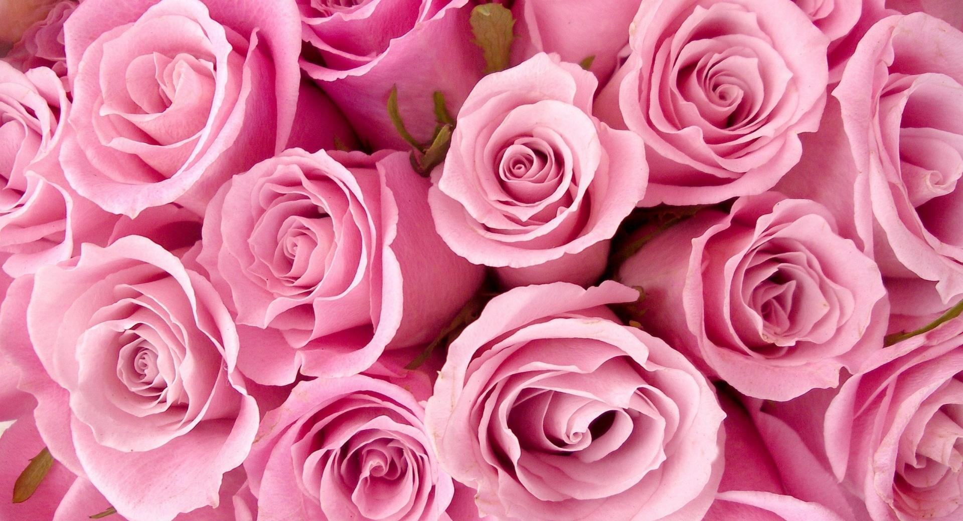 Pink Roses Close-up wallpapers HD quality
