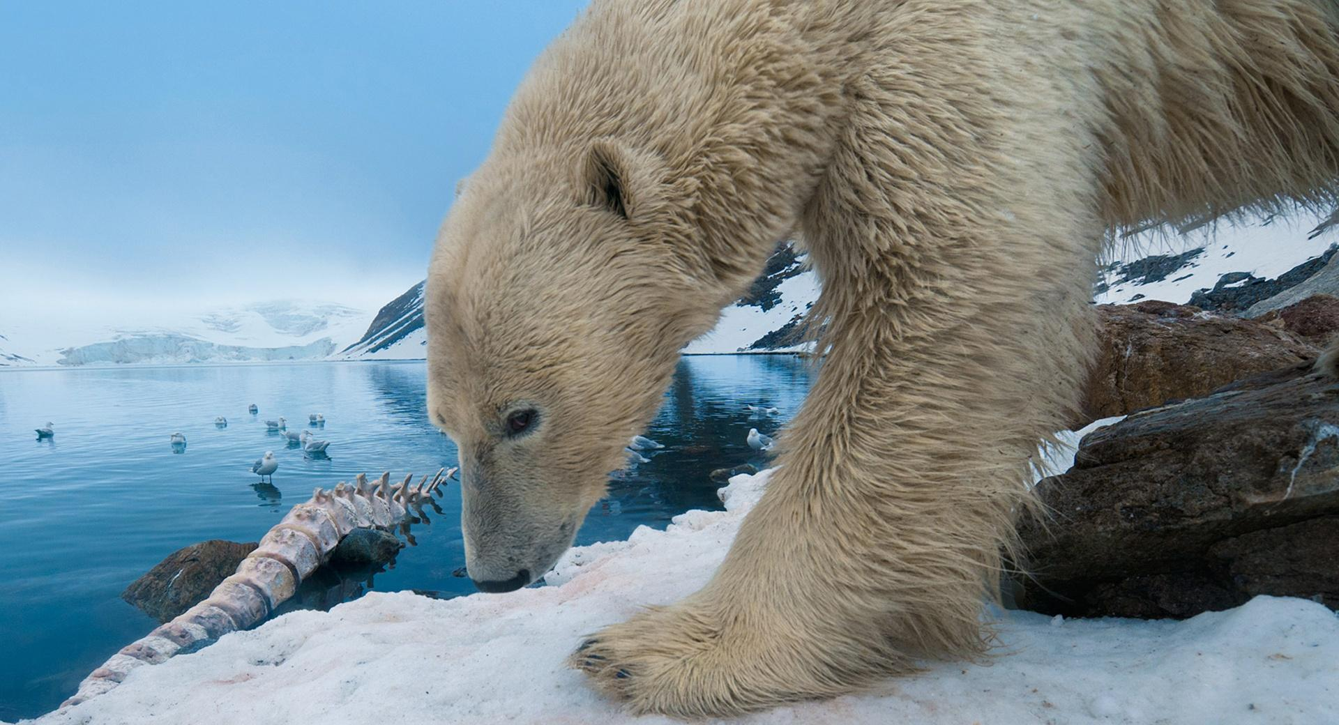 Polar Bear With Whale Bone wallpapers HD quality