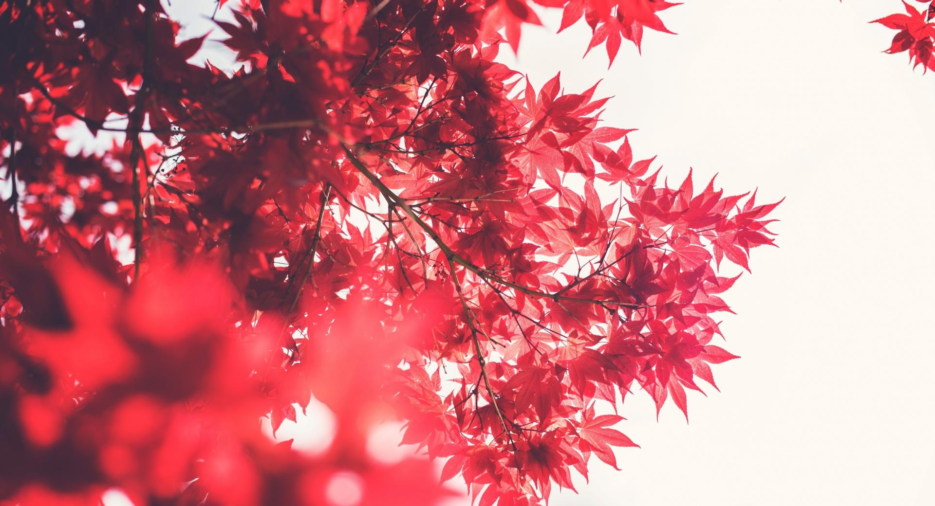 Red Japanese Maple wallpapers HD quality