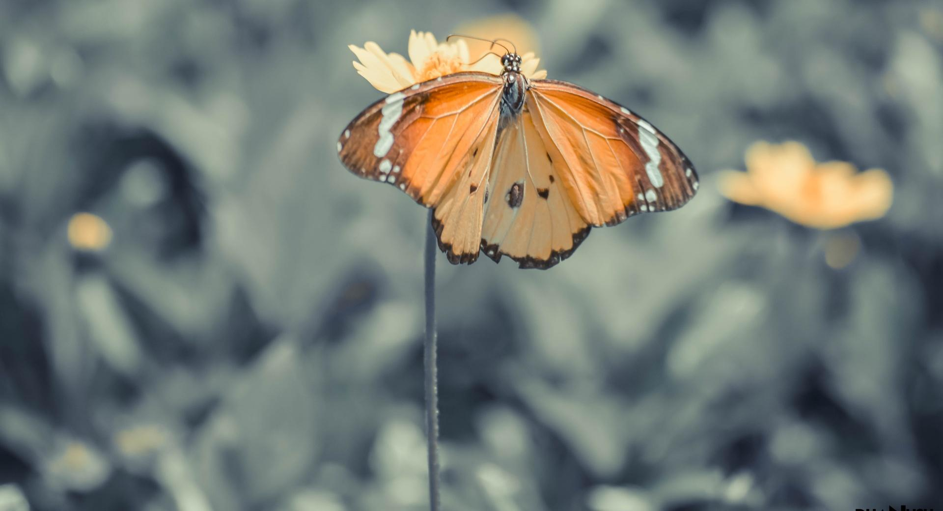 The Butterfly wallpapers HD quality