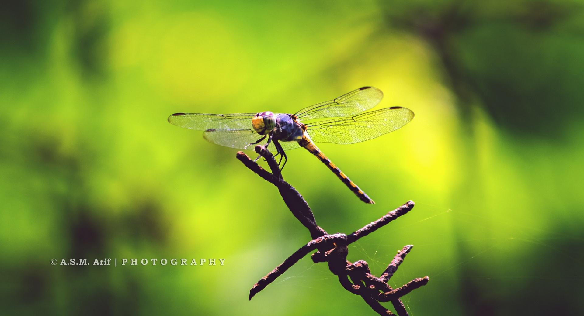 The Dragon Fly at 1280 x 960 size wallpapers HD quality