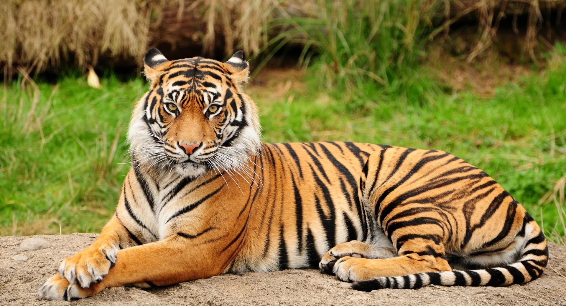 Tiger Sitting Majestic wallpapers HD quality