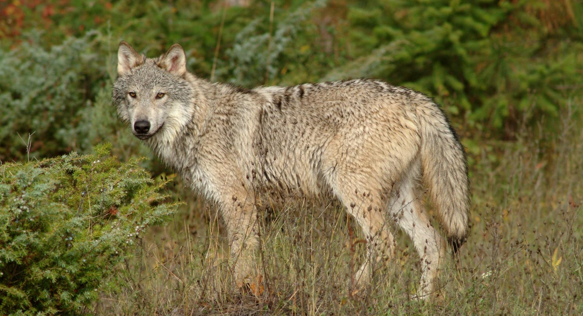 Wolf In Clearing Montana wallpapers HD quality