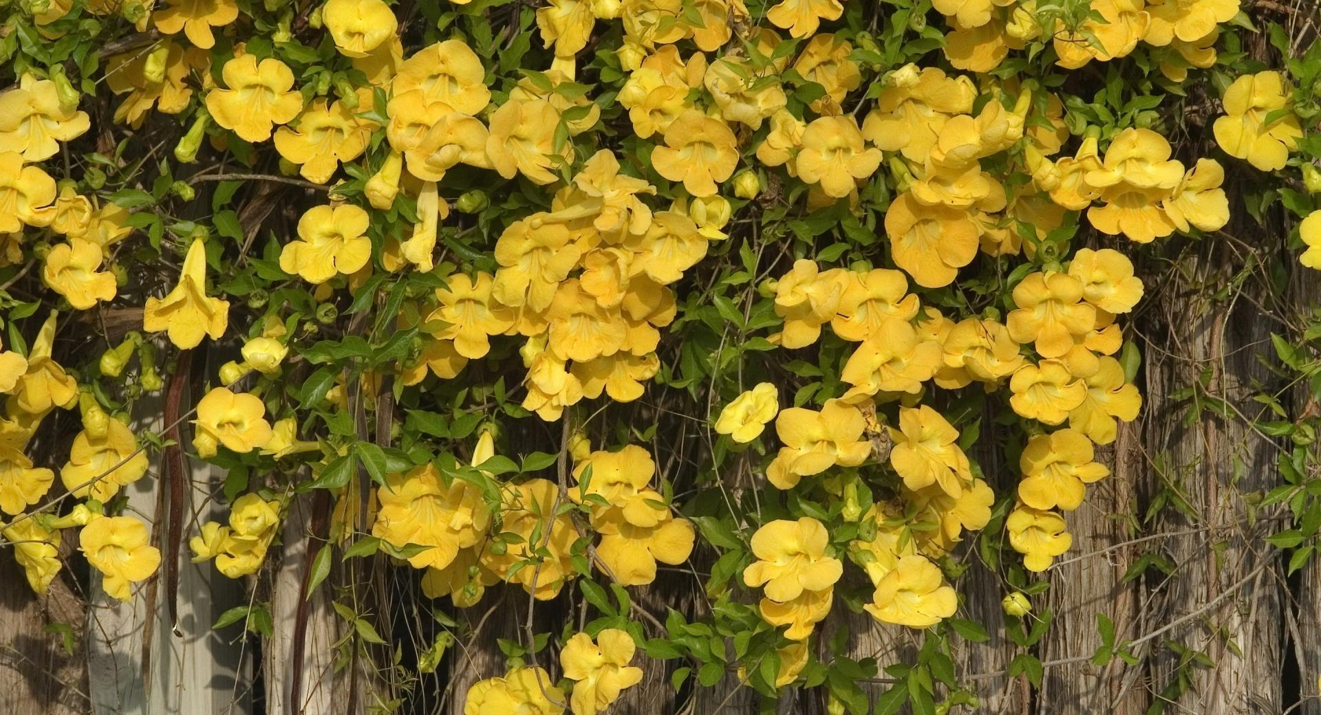 Yellow Flowers On The Fence wallpapers HD quality