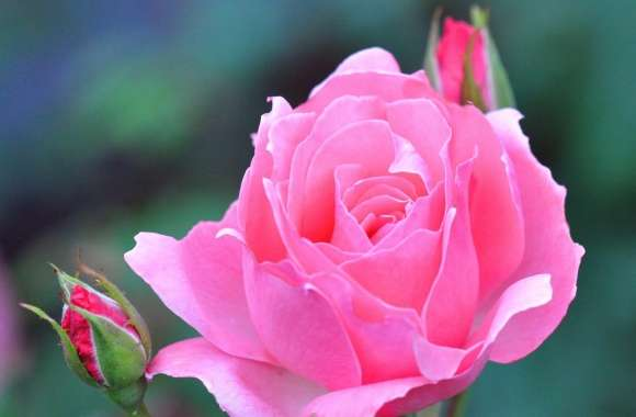 A Pink Rose And Two Buds