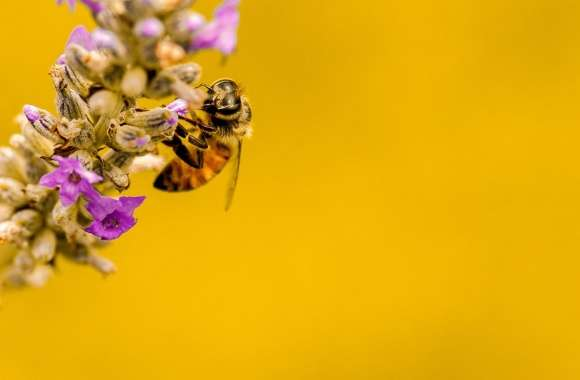 Bee, Lavender Plant, Yellow Background