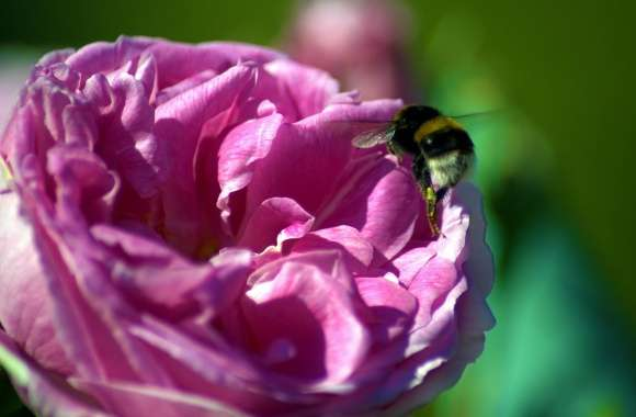 Bee On A Pink Rose