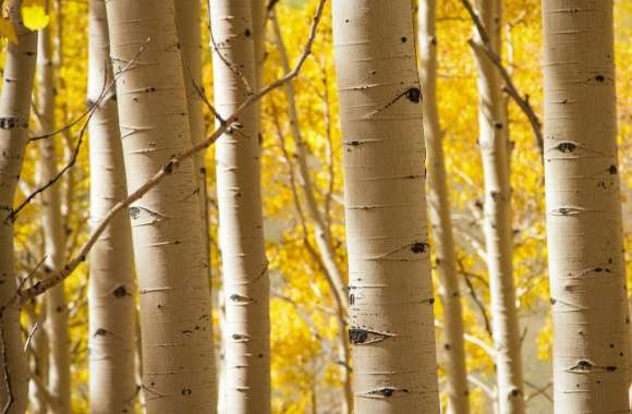 Birch Trees wallpapers hd quality