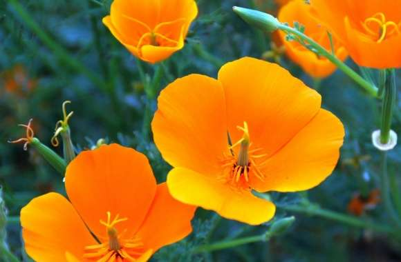 California Poppy Closeup