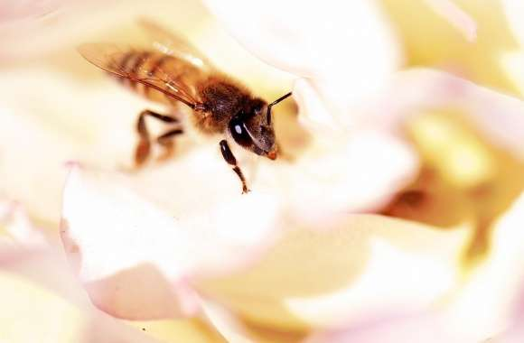Closeup, Honey Bee, White Rose