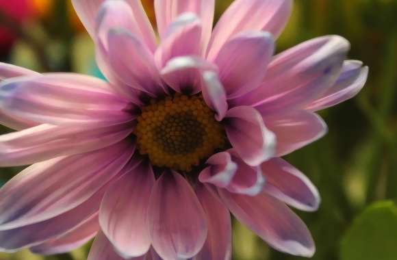 Daisy Purple