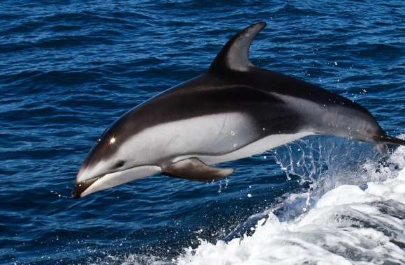 Dolphin Jumping wallpapers hd quality