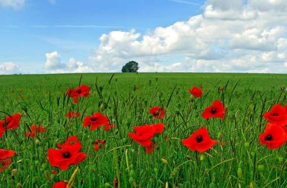 Field Of Poppies wallpapers hd quality