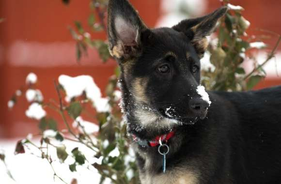 German Shepherd Puppy Snow wallpapers hd quality