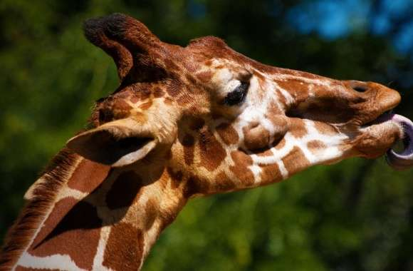 Giraffe Sticking Its Tongue Out