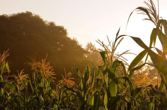 Golden Corn wallpapers hd quality