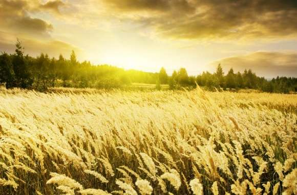 Golden Field, Sunset