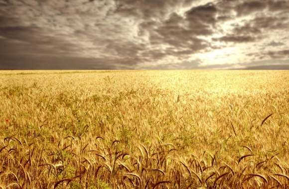 Golden Field wallpapers hd quality