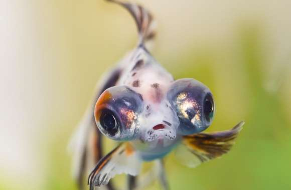 Goldfish Telescope Eyes