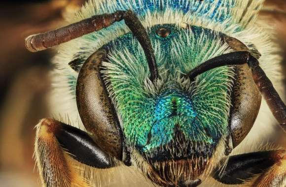 Green Blue Metallic Bee, Agapostemon Coloradinus