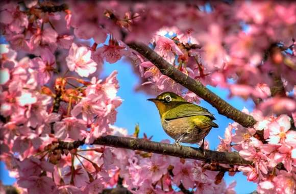 Japanese White Eye Hiding In Sakura