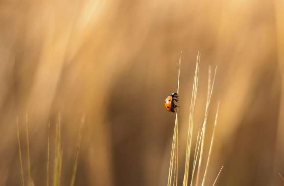 Ladybird On A Wheat Stalk wallpapers hd quality
