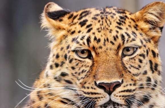 Leopard With A Bored Look