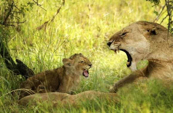 Lioness Roaring With Cub wallpapers hd quality