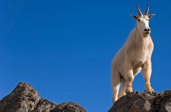 Male Goat Up On Rocks