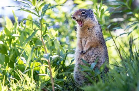 Marmot Still Screaming wallpapers hd quality