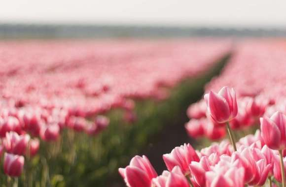 Pink Tulip Field wallpapers hd quality