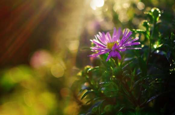 Purple Flower in Sun Rays wallpapers hd quality