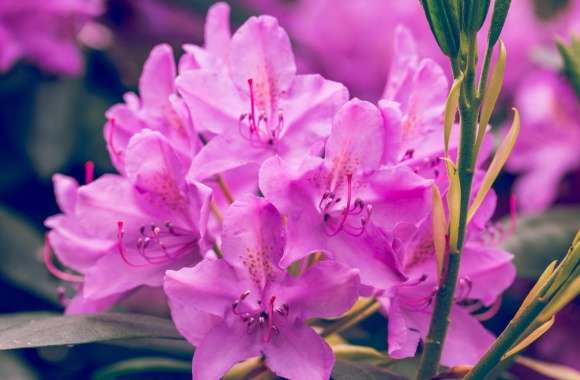Purple Rhododendron Flower